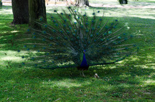 Peacock's in the Alcázar de Sevilla