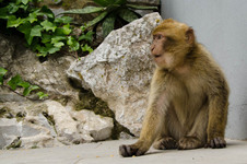 The monkeys of Gibraltar