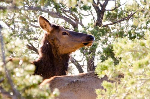 Elk or deer?