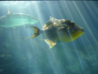 Royal triggerfish