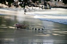 Surf iguana