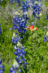 Indian paintbrush with bluebonnets