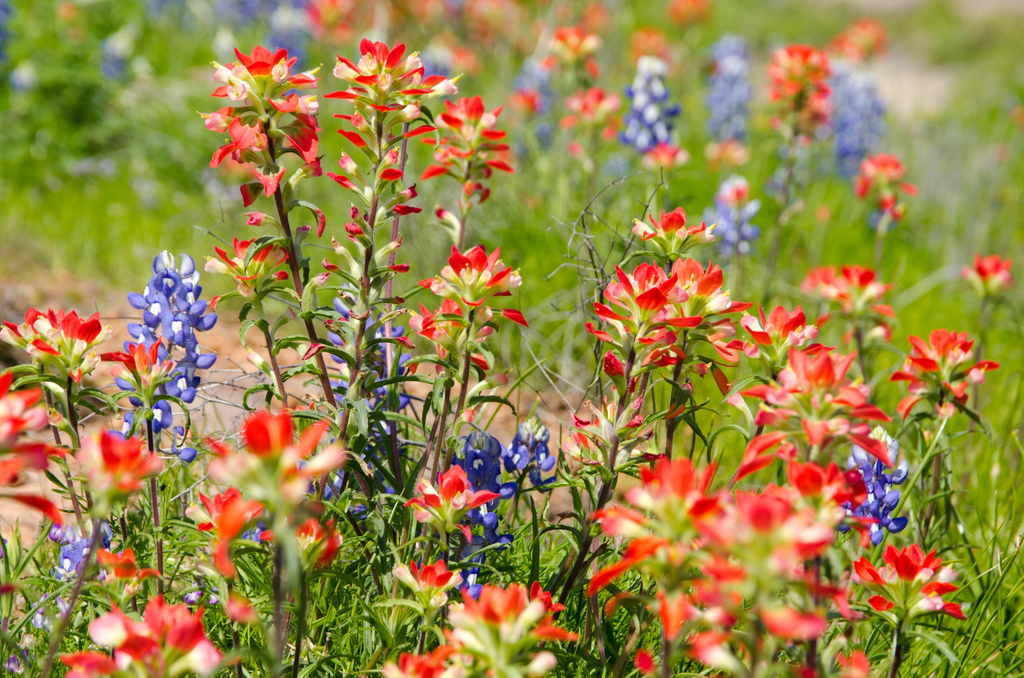 Bluebonnets with Indian paintbrushes