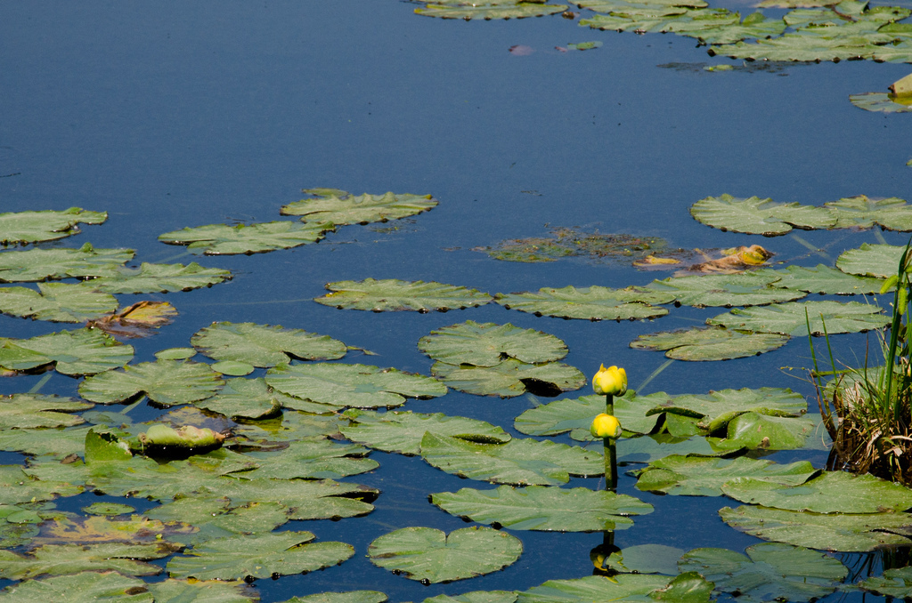 Water lilies?