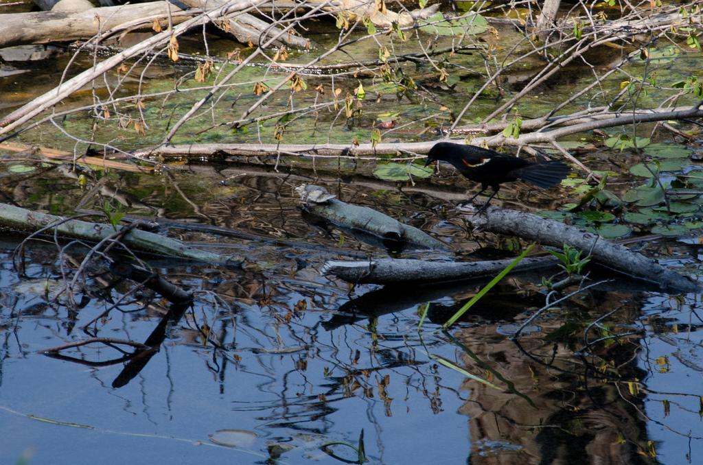 Red-wing blackbird fishing for grubs