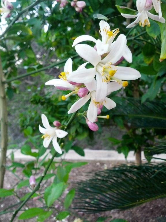 Meyer lemon blossoms