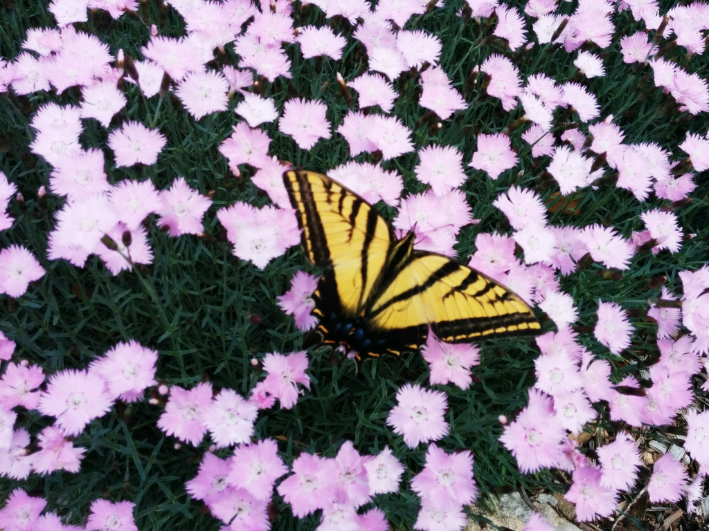 Butterfly in the Pinks