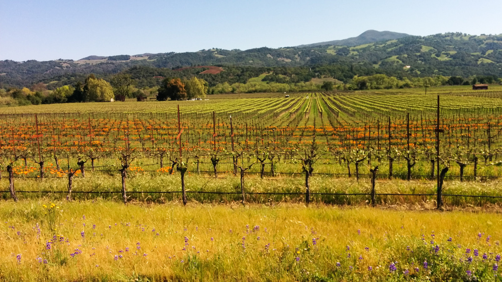 Vineyard poppies