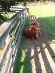 Scotish highland cows