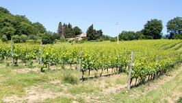 Vineyard (Merlot)