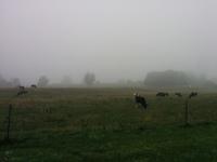 Foggy cows
