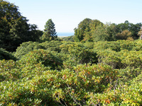 Rhododendrons as far as the eye can see