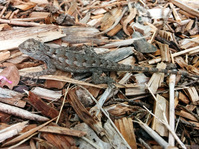 Texas Spiny Lizard (?)
