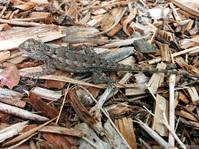 Texas Spiny Lizard (?)