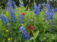 Blue bonnets and phlox