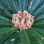Female cycad