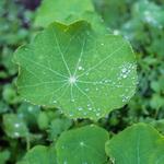 Nesturtium leaf