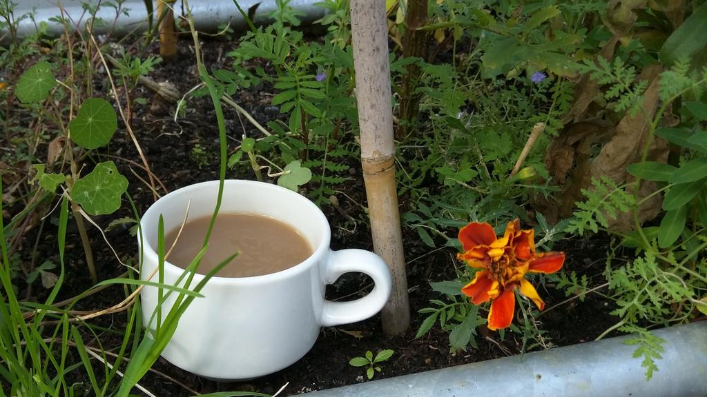 English teacup ready for harvest