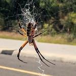 Still a big spider